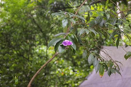 Plantas Alucinogenas Peru